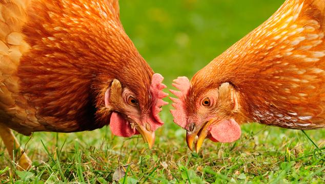 makiandaru-chicken01